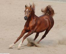 اجماع على استحالة النهوض بالمنشط وهروب الخيول السودانية لدول الجوار